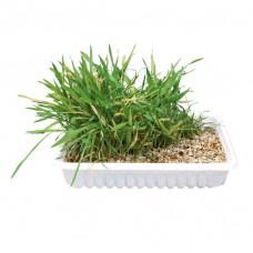 Kattgräs i skål - 100g
