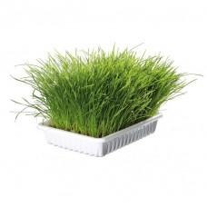 Kattgräs i skål för kattungar - 100g